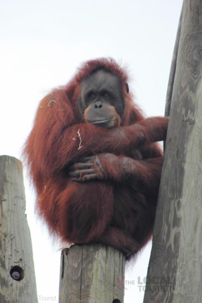 Orangutan at Como Park Zoo - Amanda is not impressed