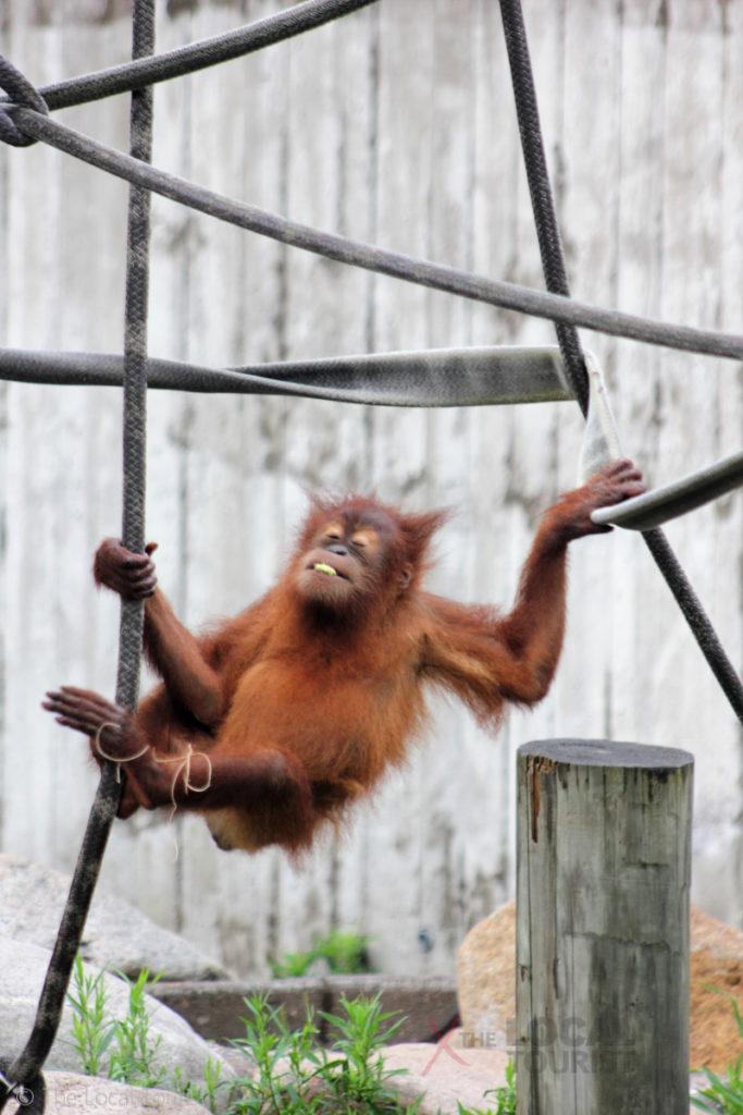 Baby orangutan at Como Park Zoo