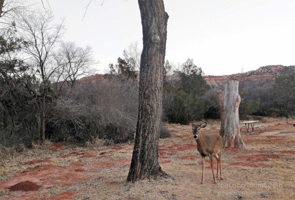 Early Morning Doe at Palo Duro Canyon