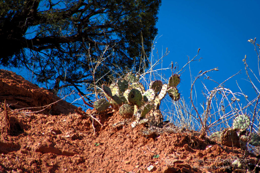 Prickly Pear Cactus at Palo Duro Canyon State Park