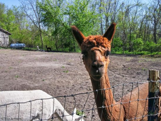 Alpacas near Galena, Illinois