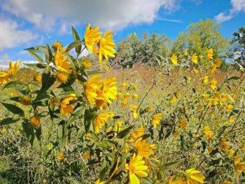 Beautiful yellow flowers in Casper Bluff