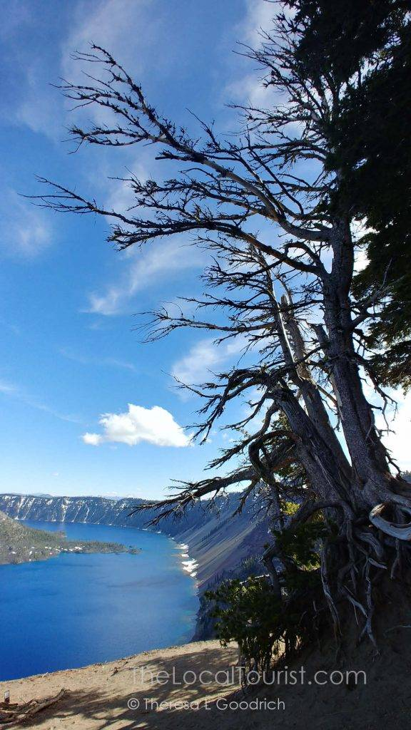Windblown trees overlooking Crater Lake