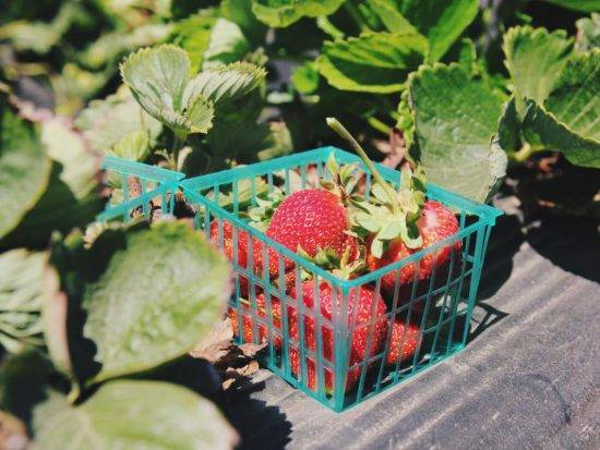 Strawberries straight from the patch