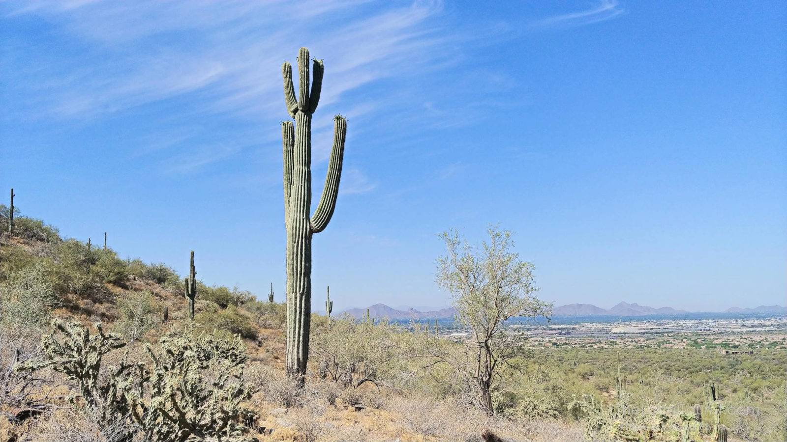 Saguaro cactus overlooking Scottsdale Arizona