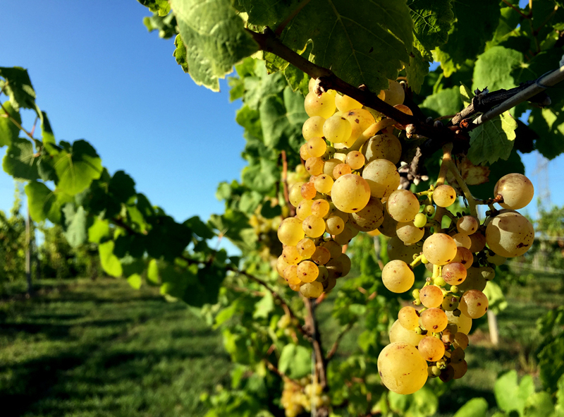 Vineyard in Harbor Country, Michigan; photo by Megan Zink, Moderately Excited Travel Blog