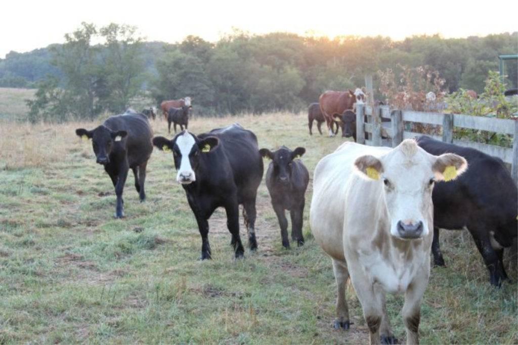 Cows at Mt. Jeez - Malabar Farm; photo credit Tonya Prater