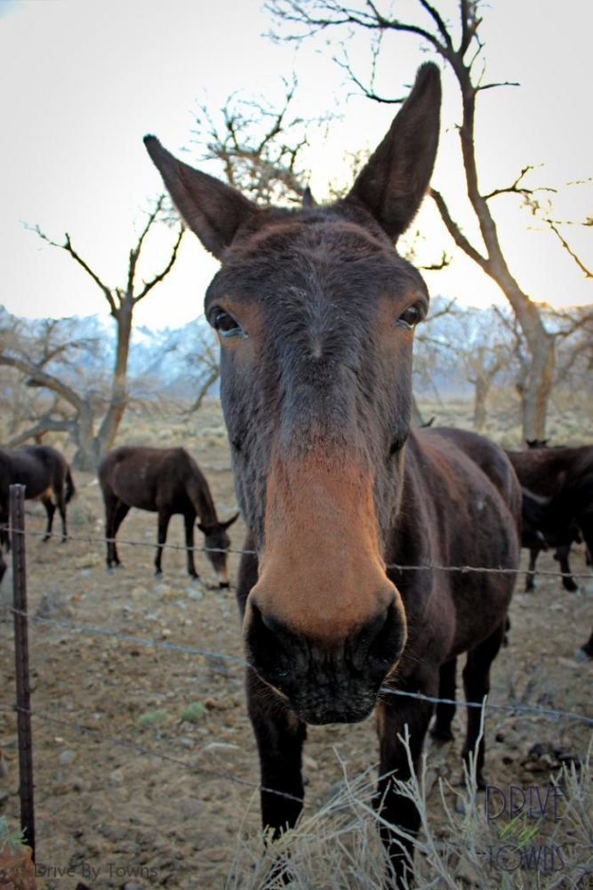 Mule in the Mule Capital of the World