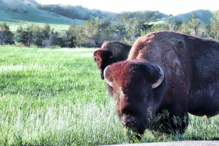 Bison before breakfast at Badlands National Park