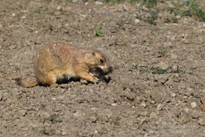 Prairie Dog at Badlands National Park