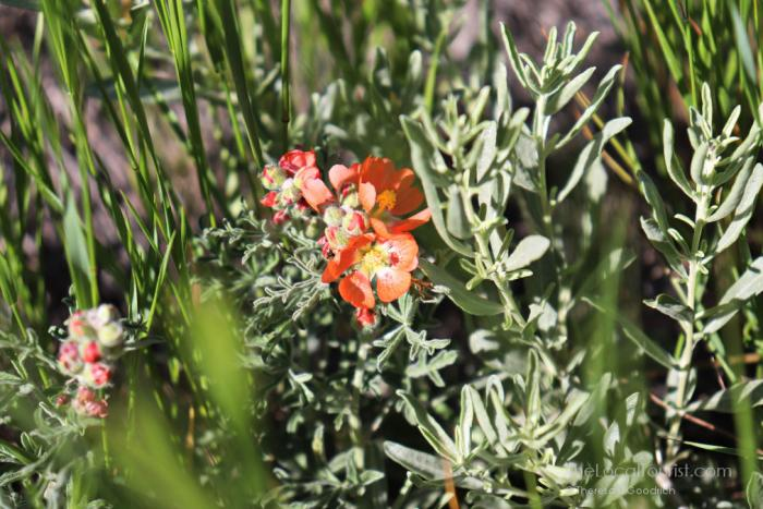 A hardy flower in Badlands National Park