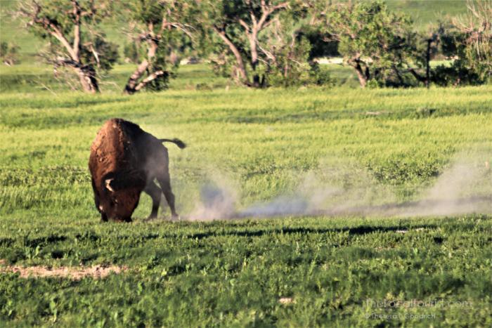 Bison near Sage Creek Campground in Badlands National Park