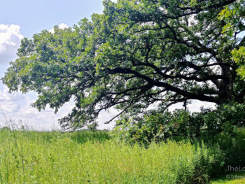 Oak tree in Pleasant Valley Conservation Area in McHenry County Illinois